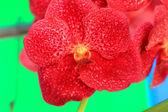 Red orchid vanda flowers — Stock Photo
