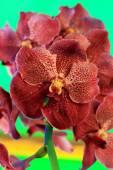Brown orchid vanda flowers — Stock Photo