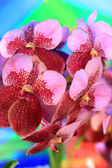Purple and red orchid vanda flowers — Stock Photo