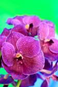 Purple orchid vanda flowers — Stock Photo