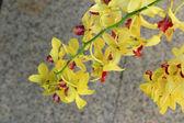 żółte kwiaty orchidei — Zdjęcie stockowe