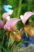 Paphiopedilum orkide çiçek — Stok fotoğraf