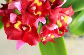 红色兰花花 — 图库照片