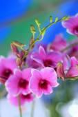 Pembe orkide çiçekleri — Stok fotoğraf