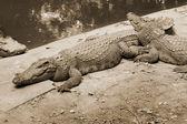 Crocodile in the nature — Stock Photo