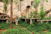 Tigers in zoo and nature — Stock Photo