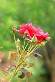 Red rose flowers — Stock Photo