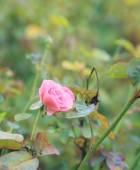 Flores rosas rosadas — Foto de Stock