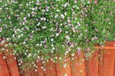 Gypsophila flowers - pink flowers in nature — Stock Photo