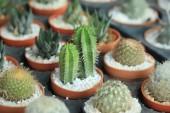Close up cactus — Stock Photo
