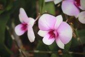 粉色的兰花花 — 图库照片