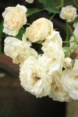 Vintage roses flower — Stock Photo