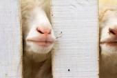 A lots of sheep — Stockfoto