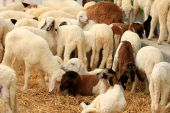 A lots of sheep — Foto Stock