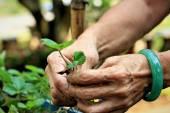 Women wear jade bracelets planting strawberry seedlings. — Stock Photo