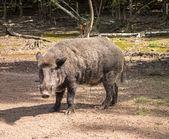 Feral pig, wild hog boar — Stock Photo