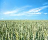 Wheat field, blue sky — Stock Photo