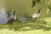 Goose Family — Stock Photo