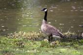 Canada Goose with Goslings — Stock Photo