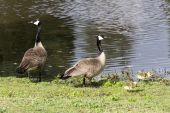 Family of Canadian Geese — Stock Photo