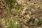 Three Canada Goslings — Stock Photo