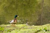 Mallard Duck on the Shore of a Pond — Stock Photo