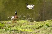 Mallard Duck on shore of pond — Stock Photo