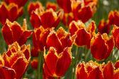 Orange Fringed Tulips — Stock Photo