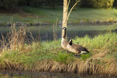 A Pair of Canadian Geese — Stock Photo
