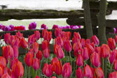 Multi Colored Tulips by a Mossy Fence — Stock Photo