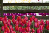 Beautiful Tulips in Front of a Mossy Wood Fence — Stock Photo
