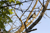 Magpie in Tree Branch — Stock Photo