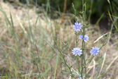 Chicory Wildflower — Stock Photo