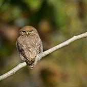 Jungle owlet in Bardia, Nepal — Stock Photo
