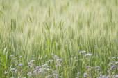 Purple flower in green crop — Stock Photo