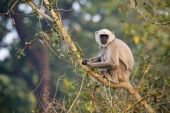 Hanuman langur in Bardia Nepal — Stock Photo