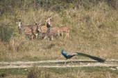 Indian peafowl and spotted deer in Nepal — Stock Photo
