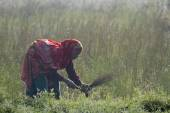 Old tharu woman working in fields in Nepal — Stock Photo