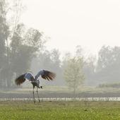 Take off of Sarus crane bird in nepali swamp — 图库照片