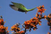 Alexandrine parakeet in Bardia, Nepal — Stock Photo