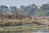 群猪鹿在巴尔迪亚,尼泊尔 — 图库照片