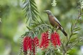 Chestnut-tailed starling in Bardia, Nepal — Stock Photo