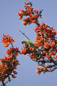 Rose-ringed parakeet in flame of the forest tree in Bardia, Nepal — Stock Photo