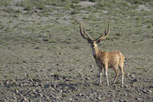 Spotted deer in Bardia, Nepal — Stock Photo