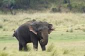 Asian elephant in Minneriya national park, Sri Lanka — Stock Photo