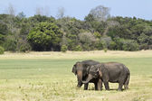 Asian elephant in Minneriya national park, Sri Lanka — Fotografia Stock