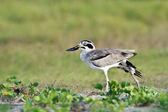 Great Thick-knee bird in Arugam bay lagoon, Sri Lanka — Stock Photo