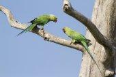 Rose-ringed parakeet in Arugam bay lagoon, Sri Lanka — Stock Photo