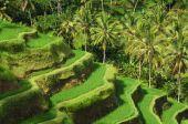 Terrace rice fields, Ubud — Stock Photo