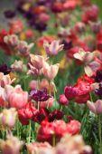 Beautiful colored tulip flowers — Stockfoto
